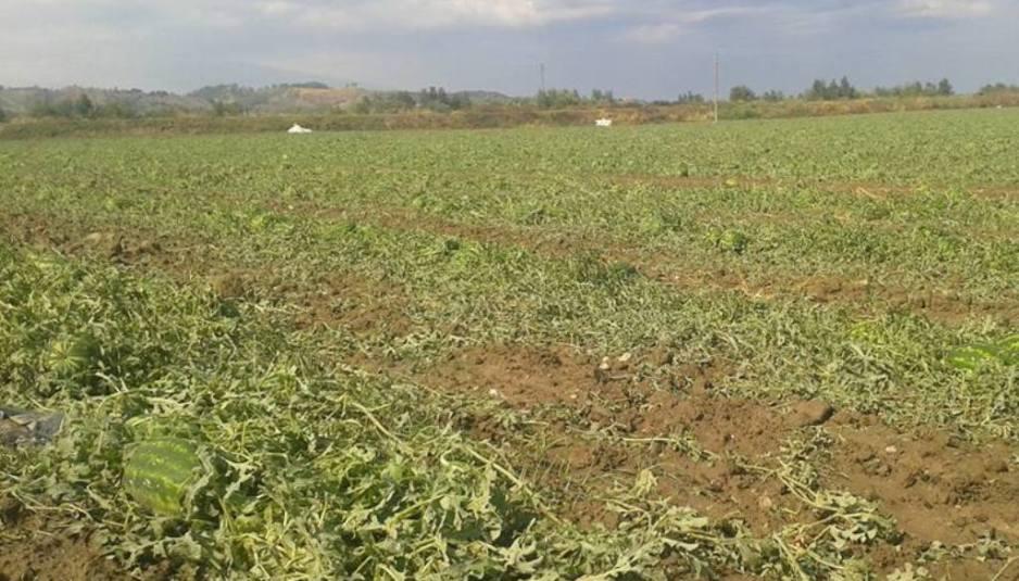 campo di angurie grandinata